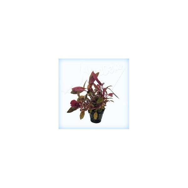 Alternanthera cardinalis Songrow - 1