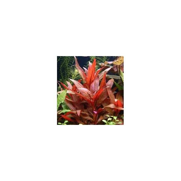 Alternanthera lilacina Songrow - 1