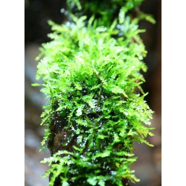 Weeping moss - In VItro McTen - 1