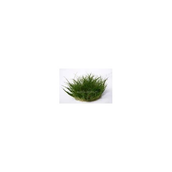 Micranthemum micranthemoides - In Vitro Masta - 1