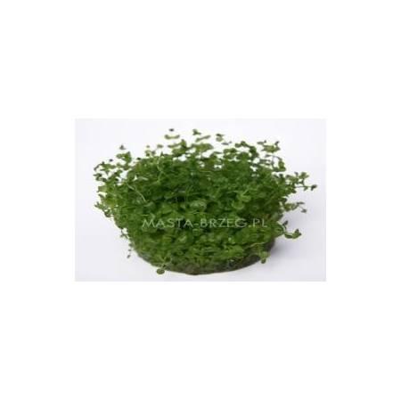 Masta micranthemum umbrusum w żelu