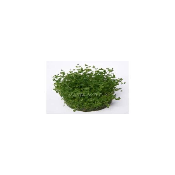 Masta micranthemum umbrusum w żelu Masta - 1