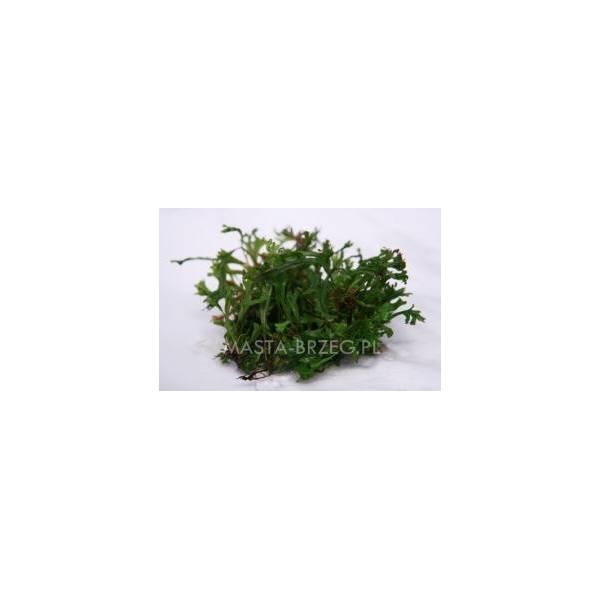 Masta Microsorum petropus w żelu