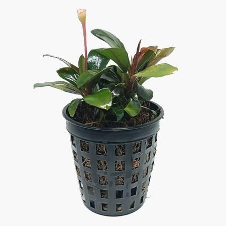 Bucephalandra Brownie - Dennerle