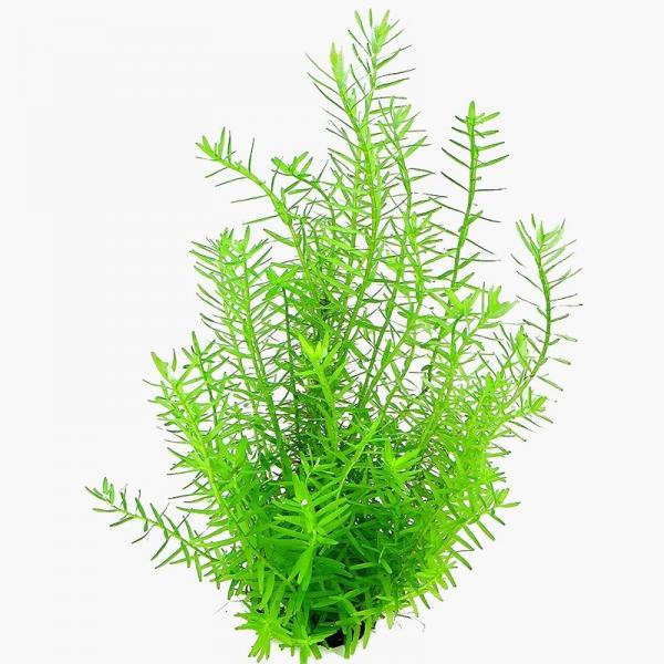 Rotala sp. Green - Dennerle