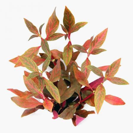Alternanthera reineckii Red Ruby - Dennerle