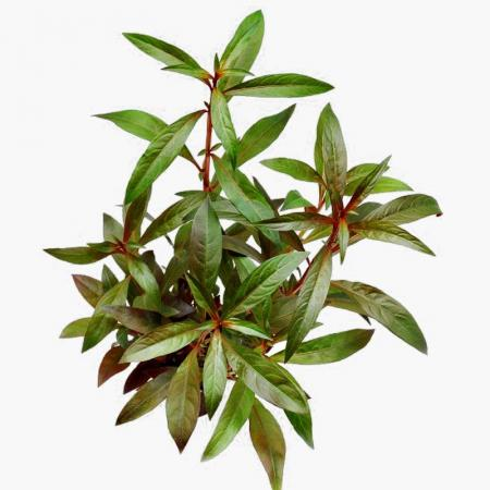 Ludwigia glandulosa - Dennerle