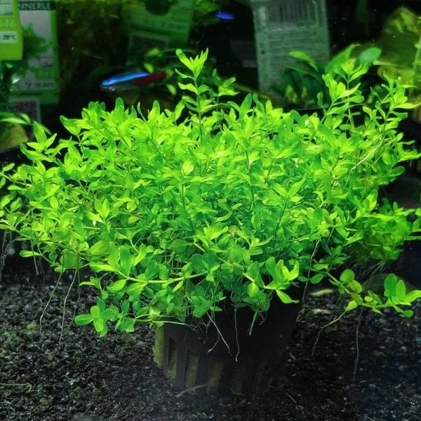 Micranthemum micranthemoides McTen - 1