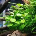 Lobelia cardinalis mini - Dennerle