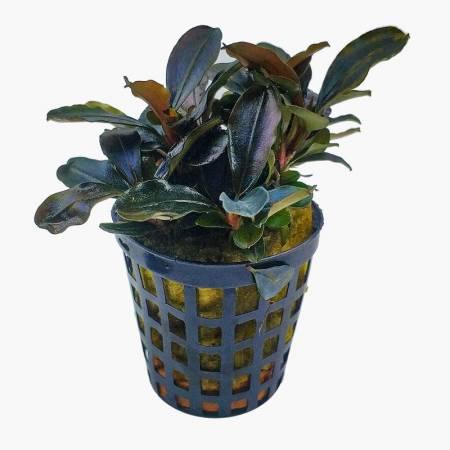 Roślina Bucephalandra Theia
