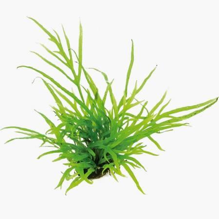 Microsorum trident - Dennerle