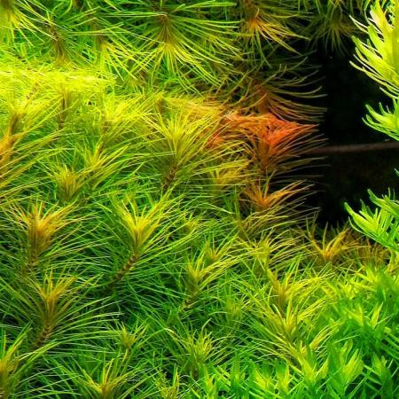 Pogostemon erectus - Aquaflora