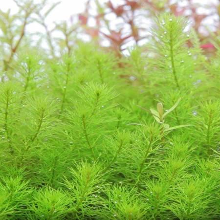 Myriophyllum sp guyana - In Vitro - Aquaflora