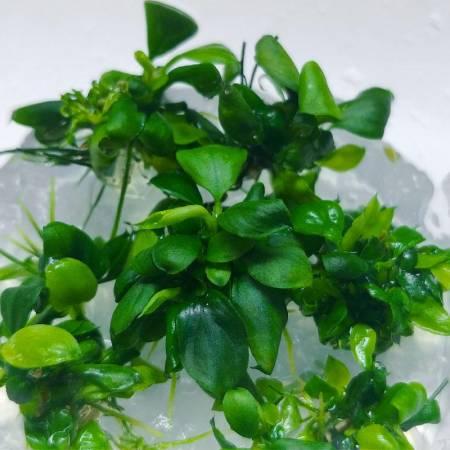 Anubias bonsai - In Vitro - Aquaflora