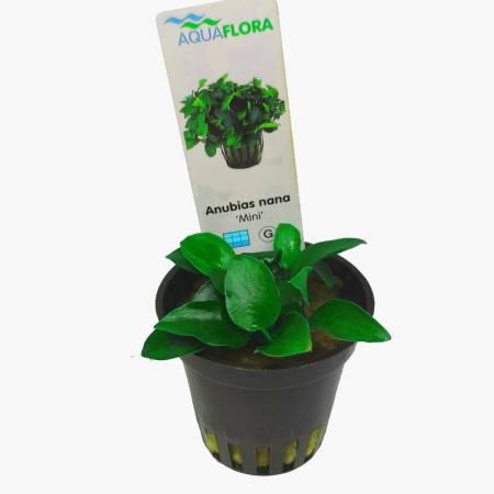 Anubias nana mini - Aquaflora