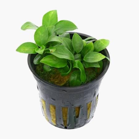 Anubias nana Mini Mini - Aquaflora