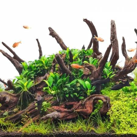 Anubias pangolino - Aquaflora