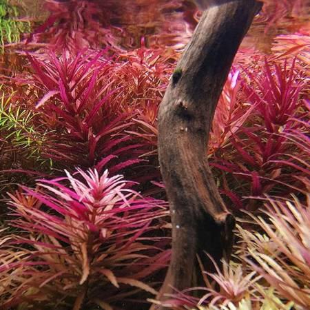 Aquaflora Limnophila aromatica