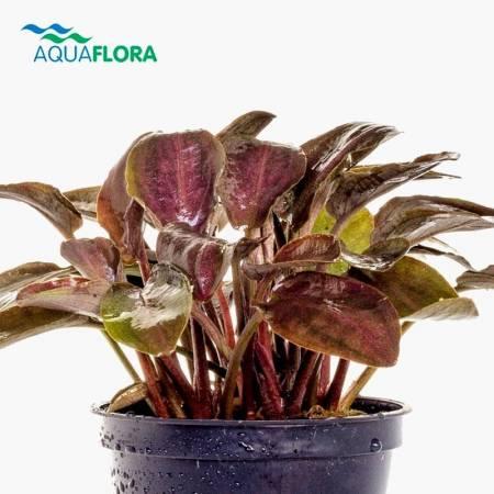 Aquaflora Lagenandra meeboldii