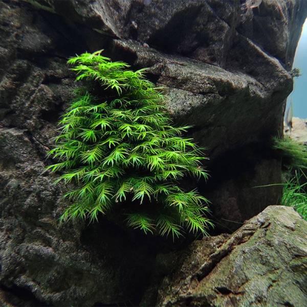 Phoenix Moss (Fissidens Fontanus) porcja Diskus - 1