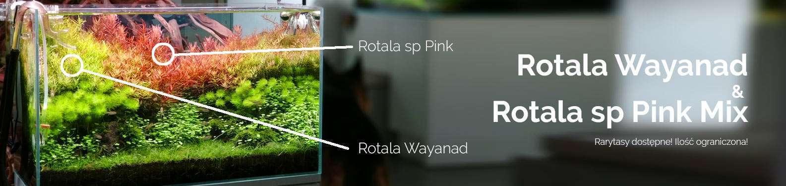 Rotala Wayanad & Rotala sp Pink